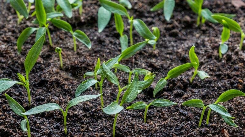 茄子,蕃茄,生长在窗口的一个透明容器的甜椒幼木在a的土制土壤 库存图片