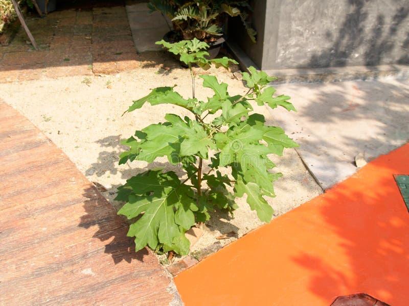 茄属torvum在走道旁边增长 库存照片