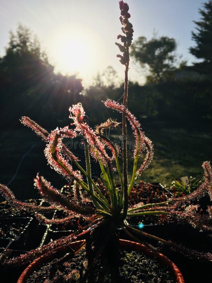 茅膏菜属植物 库存图片