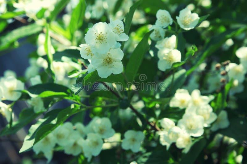 茉莉花灌木关闭的白花 图库摄影