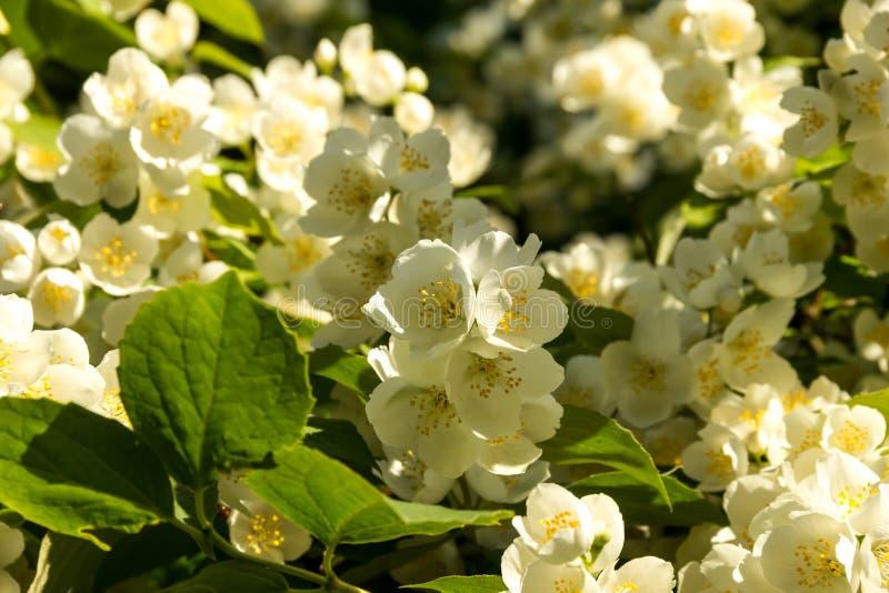 茉莉花白色庭院花在阳光下在一个夏日 库存图片