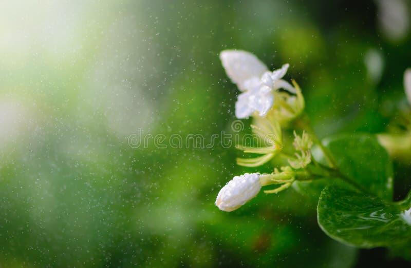茉莉花花卉生长在灌木在有雨下落的庭院里 免版税库存照片