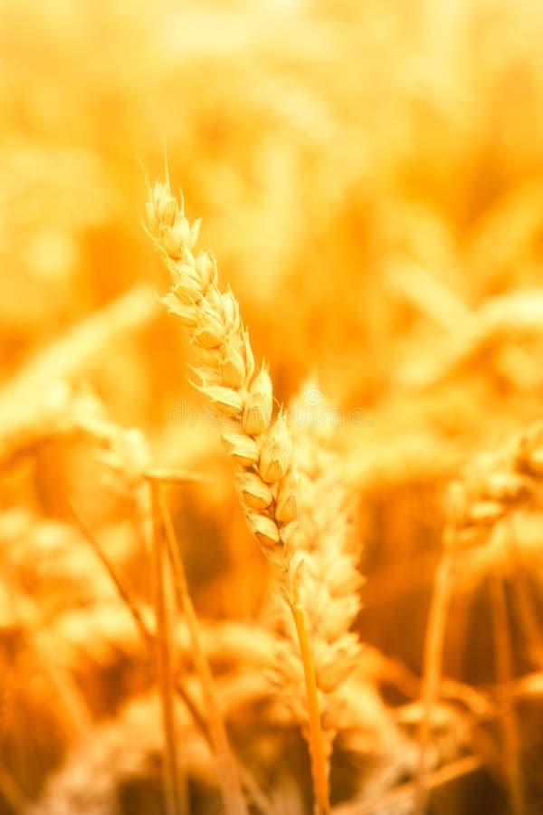 茎麦子 库存照片