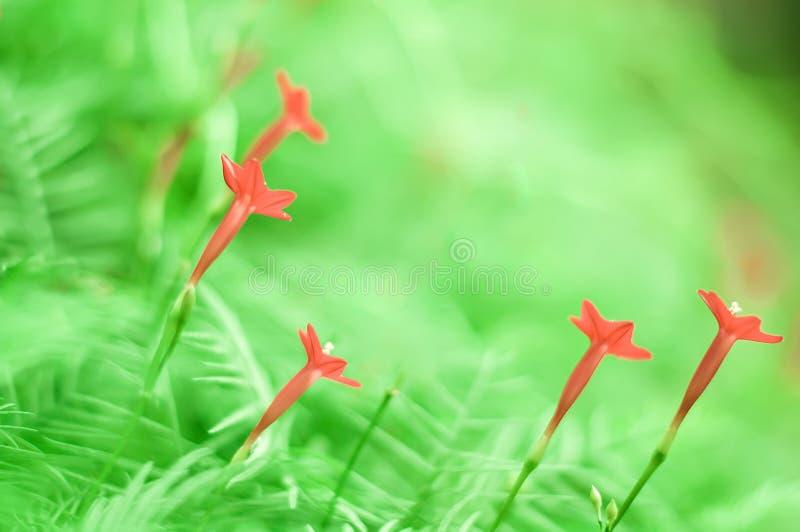 茑萝,红色花切开了对绿色背景 免版税库存图片