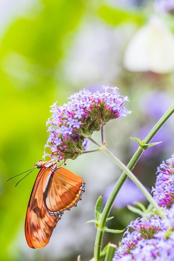 茱莉亚蝴蝶,宏观射击的关闭 库存照片