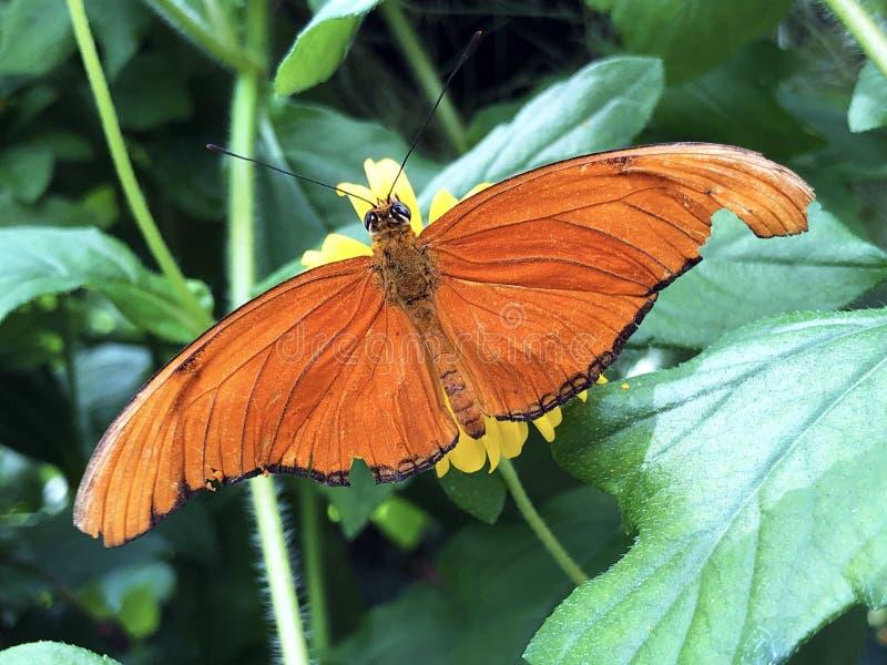 茱莉亚heliconian蝴蝶、的茱莉亚,火焰,大烛台或新仙女木iulia美丽的夏天花在公园花海岛Mainau 库存图片