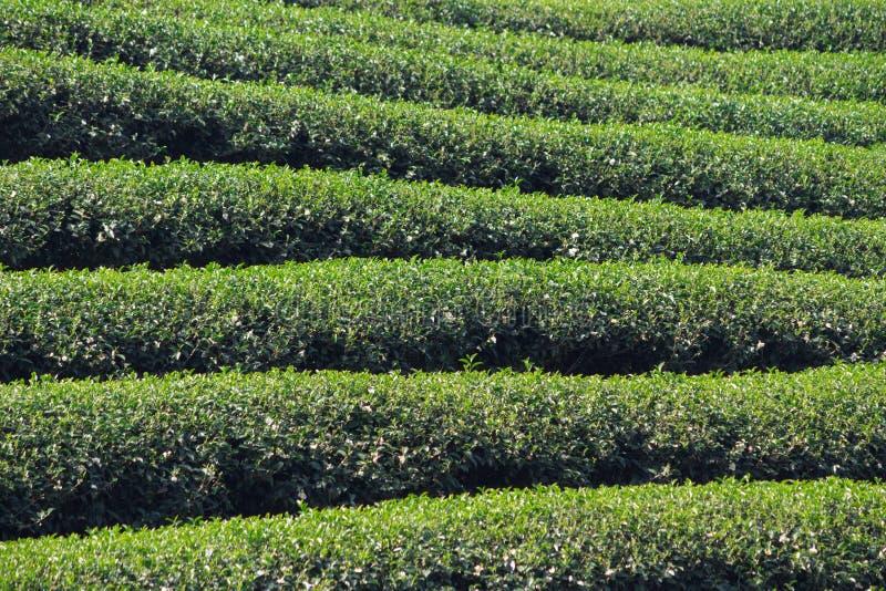 茶农场在清莱 免版税库存图片