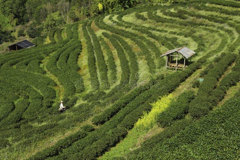 茶农场 库存照片