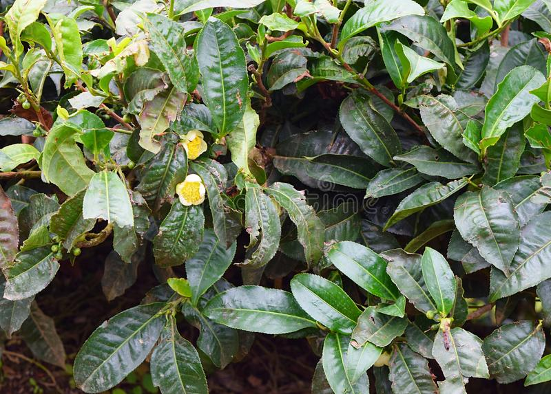 茶厂-山茶花Sinensis花和叶子-自然绿色背景 免版税库存照片