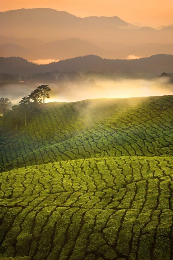 茶园与雾的日出清早在喀麦隆Highlan 免版税库存图片