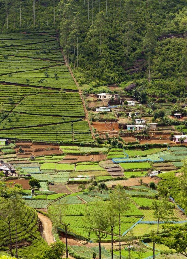 茶园和菜园。斯里兰卡 免版税库存图片