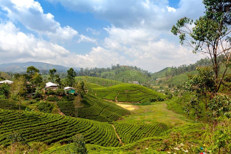 茶园在努沃勒埃利耶,斯里兰卡附近的国家 美好的横向 旅行向亚洲 库存照片