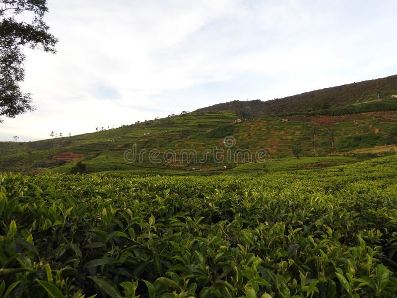 茶园在努沃勒埃利耶,斯里兰卡附近的国家 库存照片