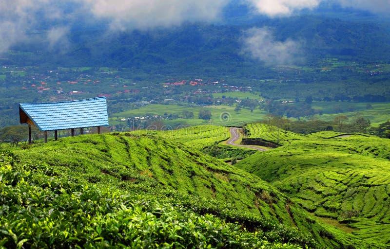 茶园在帕加拉兰东部苏门答腊岛印度尼西亚 免版税库存图片