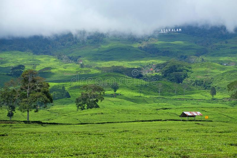 茶园在帕加拉兰苏门答腊岛印度尼西亚 库存照片