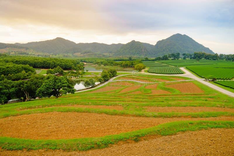 茶园在清莱省 库存照片