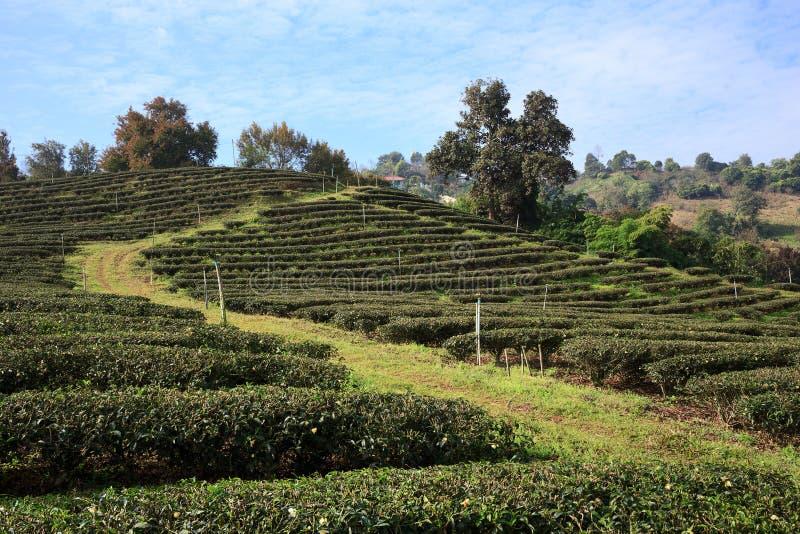 Download 茶园在美斯乐,北泰国 库存照片. 图片 包括有 绿色, 没人, 庄稼, 问题的, 农场, 种植园, 泰国 - 62531018