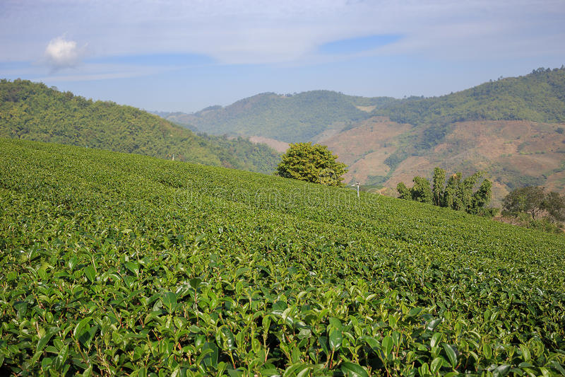 Download 茶园在美斯乐,北泰国 库存图片. 图片 包括有 农村, 聚会所, 新鲜, 种植园, 大阳台, 北部, 绿色 - 62531073