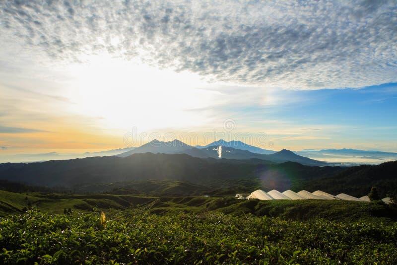 茶园在Malasari,茂物,印度尼西亚 与剪影山和天空蔚蓝的日出场面 免版税库存照片