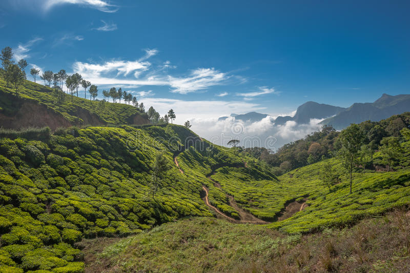 茶园在Munnar,喀拉拉,印度 库存图片