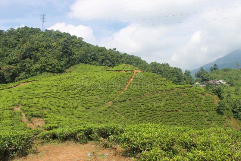茶园在Puncak,印度尼西亚 免版税库存照片