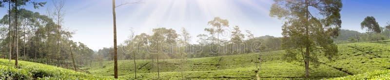 茶园在Wonosobo borobodur印度尼西亚Java 库存图片