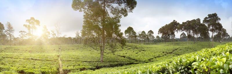 茶园在Wonosobo borobodur印度尼西亚Java 免版税库存图片