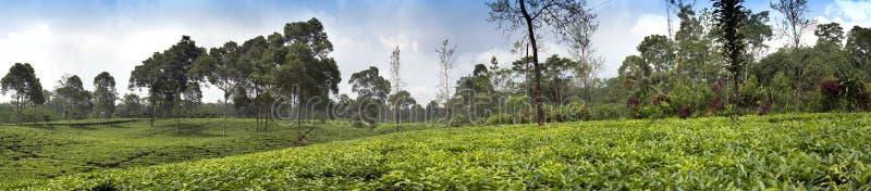 茶园在Wonosobo borobodur印度尼西亚Java 免版税图库摄影