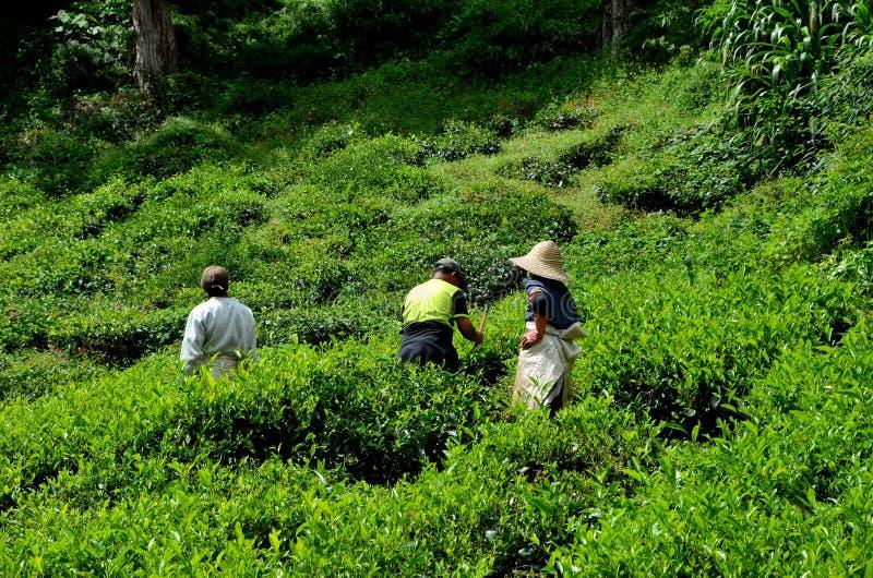 茶园工作者在领域金马仑高原马来西亚的太阳收获并且劳碌 免版税库存照片