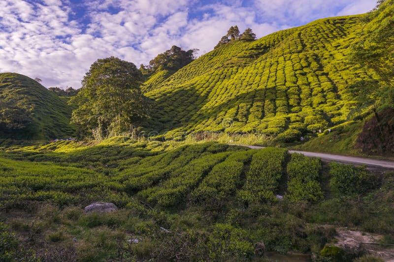 茶园的金黄小时风景山坡的 免版税库存图片