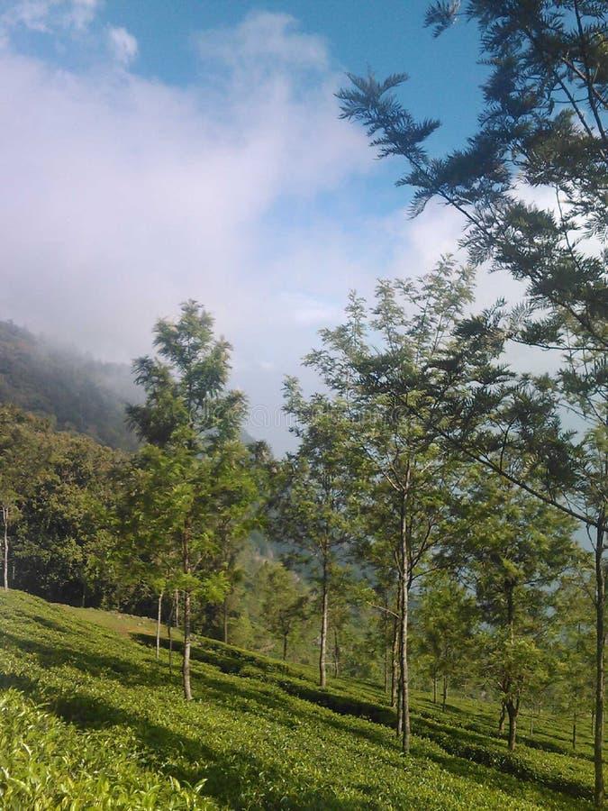 茶园,乌塔卡蒙德,印度 免版税图库摄影
