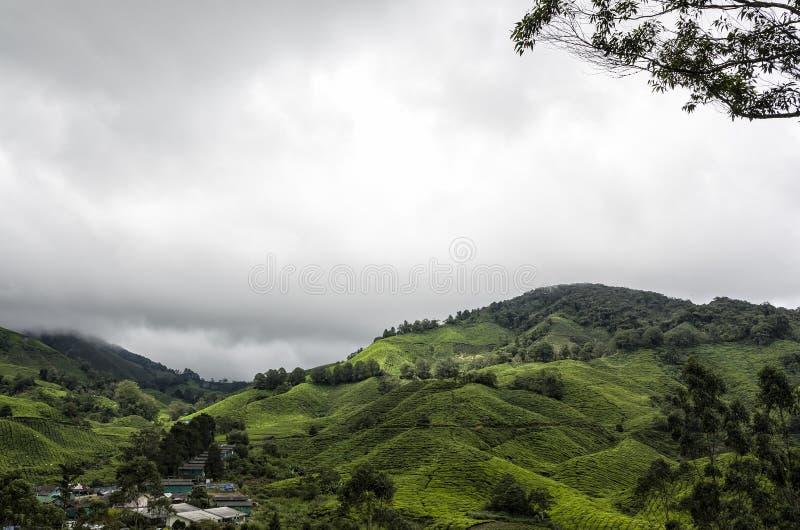 茶园,喀麦隆高地,马来西亚 库存图片