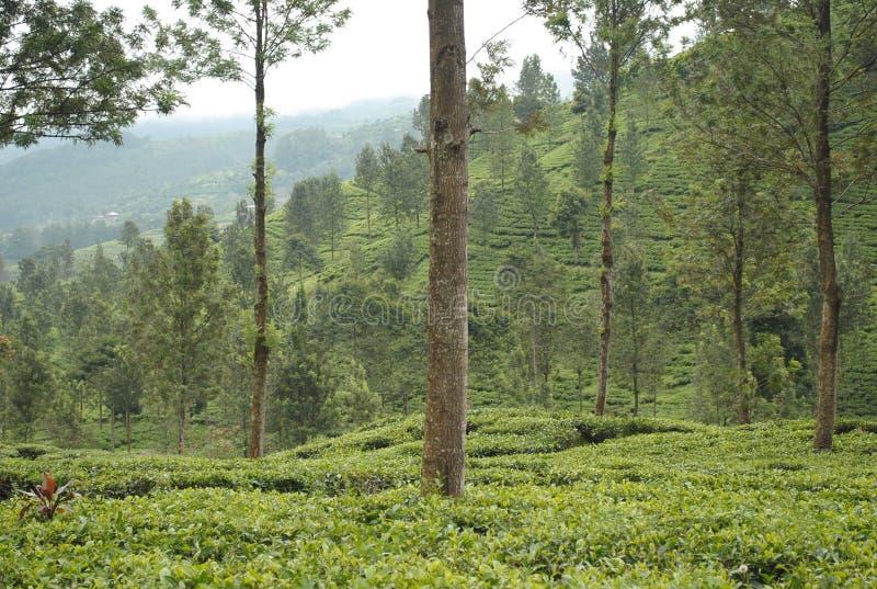 茶园,西爪哇省印度尼西亚 库存照片