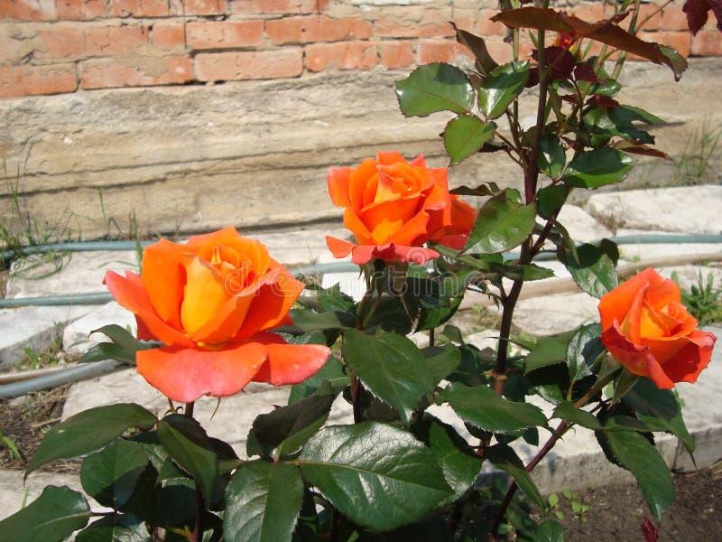 茶在庭院里上升了在夏天 库存图片