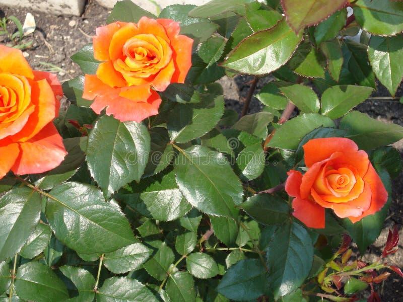 茶在庭院里上升了在夏天 免版税库存照片
