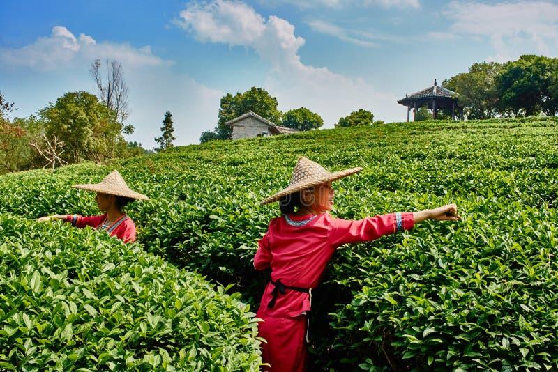 茶收获桂林阳朔广西中国 库存照片