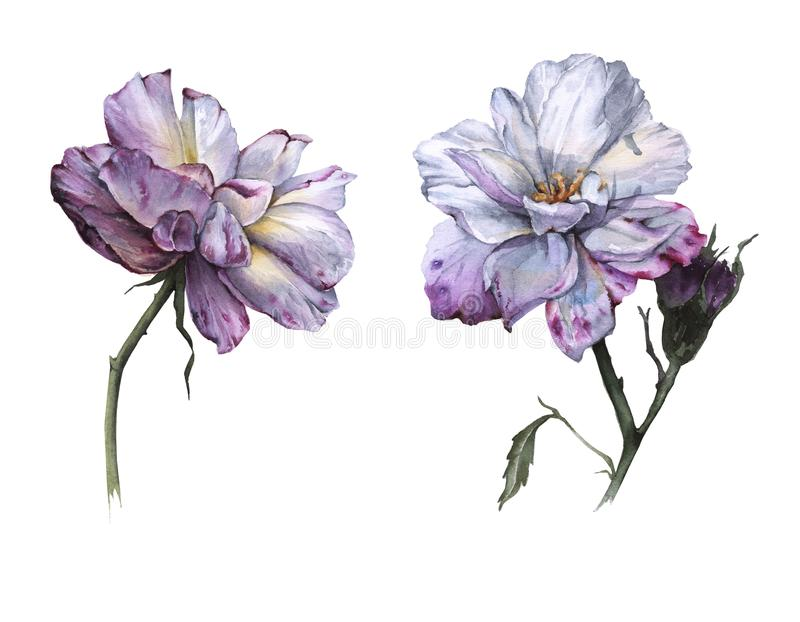 茶的两朵花上升了 背景查出的白色 向量例证