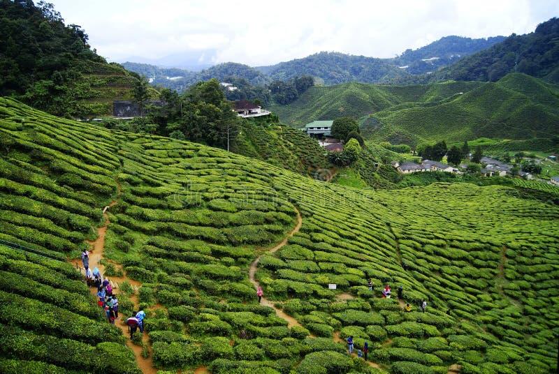 绿茶种植园金马仑高原在马来西亚 免版税库存图片