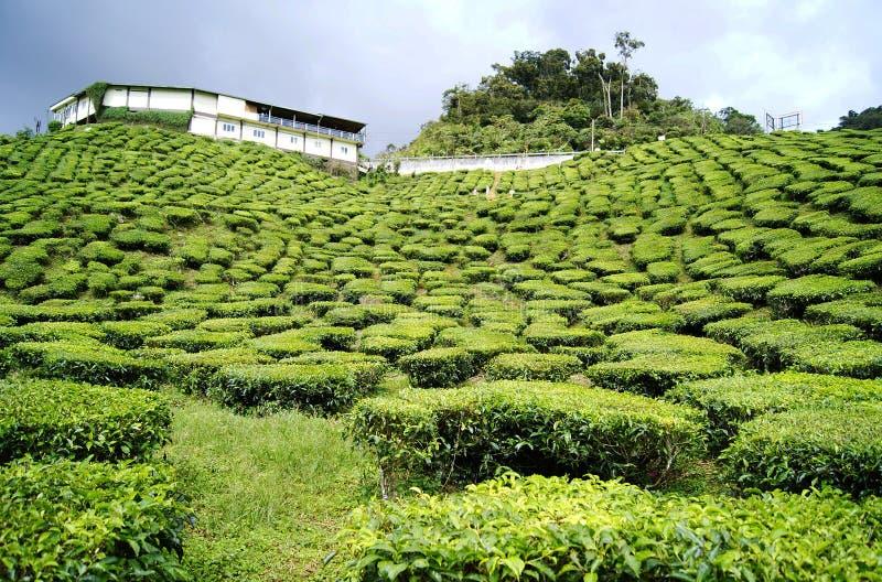 绿茶种植园金马仑高原在马来西亚 图库摄影