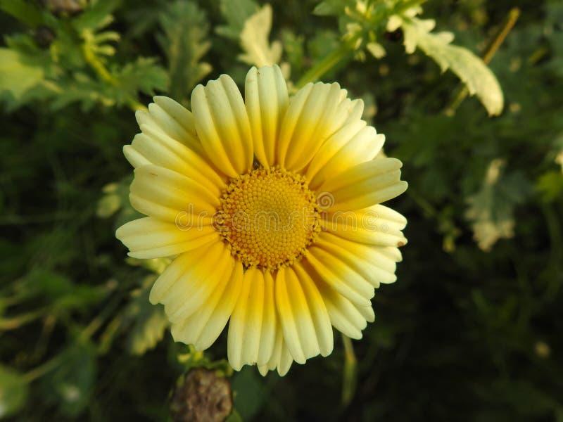 茼莴,延命菊雏菊绿色背景植物 库存图片