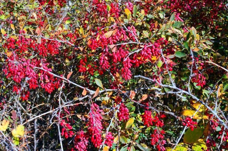荆棘丛上的紫莓 免版税库存图片