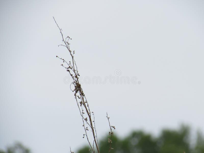 草一个干燥,垂直,偏僻的分支与种子的分离沿灰色背景的中心的框架 免版税库存照片