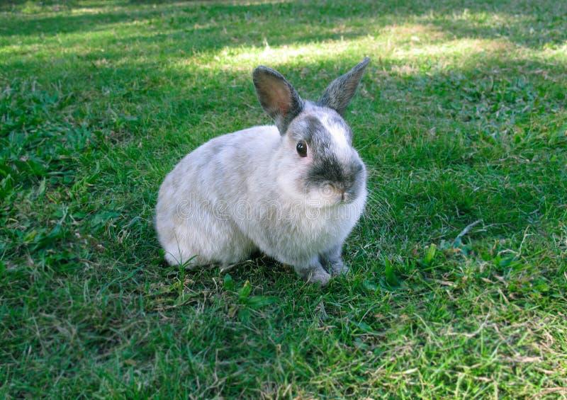 草兔子 免版税图库摄影