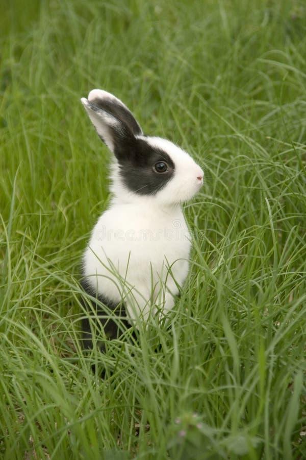 草兔子 库存图片