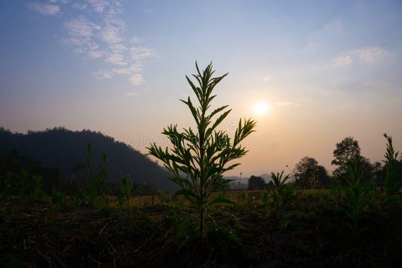 草剪影在山和日落背景的  库存图片