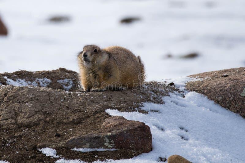 草原土拨鼠在冬天 免版税库存照片