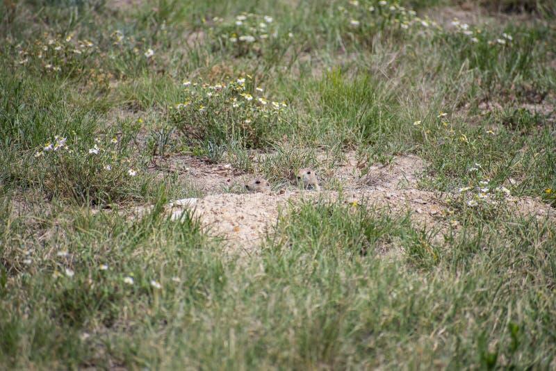草原土拨鼠捉迷藏 库存图片