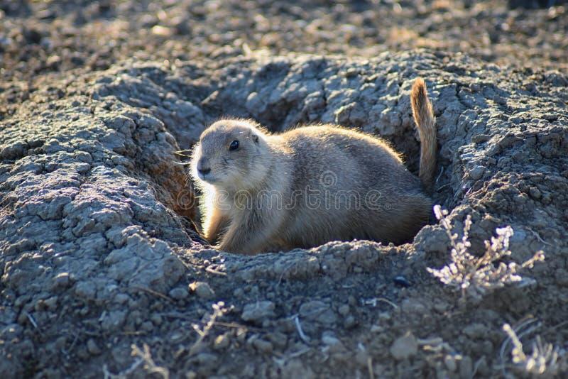 草原土拨鼠类草原犬鼠ludovicianus Black-Tailed在野生,食草挖洞的啮齿目动物,在shortgrass大草原ecosyst 免版税库存照片