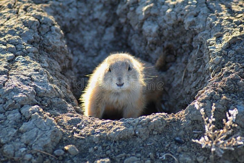草原土拨鼠类草原犬鼠ludovicianus Black-Tailed在野生,食草挖洞的啮齿目动物,在shortgrass大草原ecosyst 库存图片