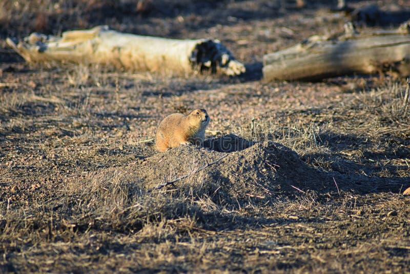 草原土拨鼠类草原犬鼠ludovicianus Black-Tailed在野生,食草挖洞的啮齿目动物,在shortgrass大草原ecosyst 免版税图库摄影